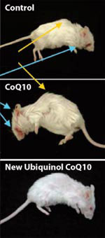 Rats on Co-Enzyme-Q10